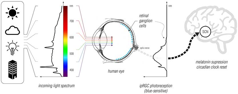 Circadian SCN & Eye